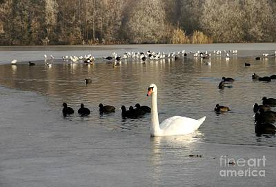 Swan And Ice Art Print by John Chatterley