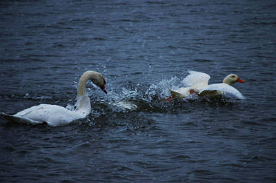Art Print featuring the photograph Swan Attack by Brian Stevens