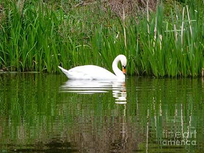 Photograph - Swan Contemplation by Ed Lukas