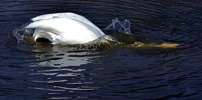 Pinion Photograph - Swan Dive by Brian Stevens