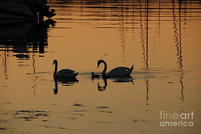 Photograph - Swan Family At Sunset by Camilla Brattemark