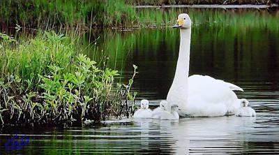 Swan Family Late Summer Art Print by Colette V Hera  Guggenheim