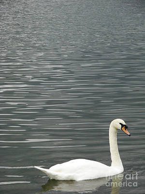 Photograph - Swan I by Mark Holbrook