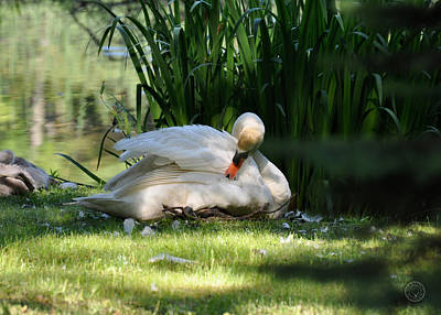 Photograph - Swan In Light And Shadow by Healing Woman