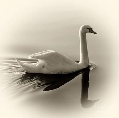 Brids Photograph - Swan by James Yang