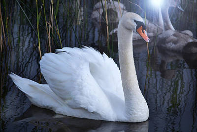 Photograph - Swan Lake. by Terence Davis