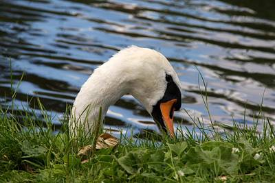 Photograph - Swan Nibble by Ed Lukas