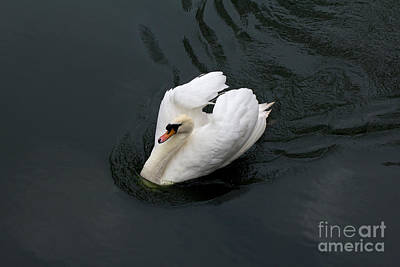 Art Print featuring the photograph Swan On Black Water by Les Palenik