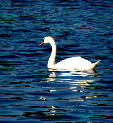 Photograph - Swan Reflections by Beth Akerman