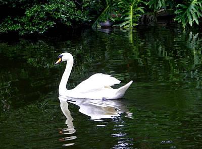 Photograph - Swan Serenity by Judy Wanamaker