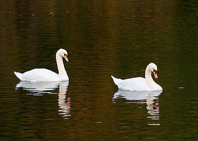 Photograph - Swan Song by Paul Mangold