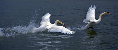 Pinion Photograph - Swan Ufc by Brian Stevens