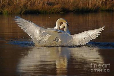 Photograph - Swan Wars 1 by Doug Thwaites