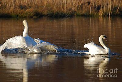 Photograph - Swan Wars 3 by Doug Thwaites