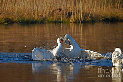 Photograph - Swan Wars 4 by Doug Thwaites