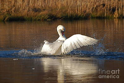 Photograph - Swan Wars 5 by Doug Thwaites