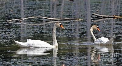 Swans At Sandy Ridge Art Print by Bob Niederriter