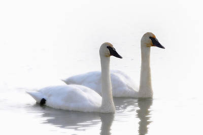 Swans Bathed In Light Swimming Art Print by Robert Postma