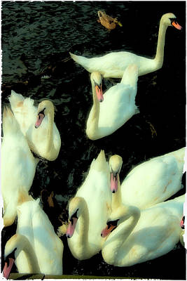 Photograph - Swans by Harry Spitz