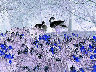 Swans In The Blue Art Print by Fred Whalley