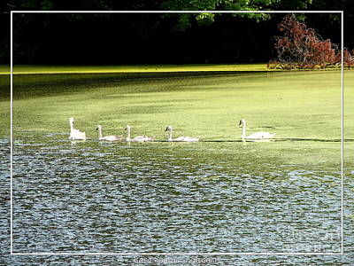 Swans Photograph - Swans On A Pond With Added Watercolor Effect by Rose Santuci-Sofranko