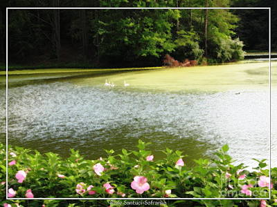 Swans Photograph - Swans On Pond And Hibiscus With Oil Painting Effect by Rose Santuci-Sofranko