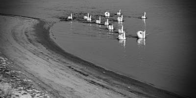 Swans On River Danube Art Print by Tibor Puski