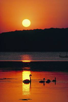 Swans Silhouetted By The Setting Sun Art Print by Sisse Brimberg