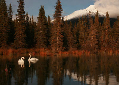 Photograph - Swans Wrangell St. Elias National Park And Preserve by Benjamin Dahl