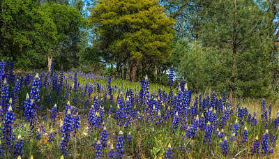 Photograph - Sweet Blue Lupine by Gary Rose