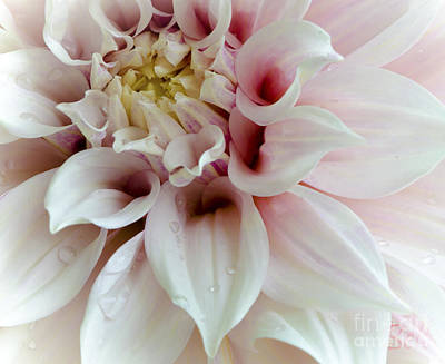 Snickerhaus Gallery Photograph - Sweet Dahlia by Christine Belt