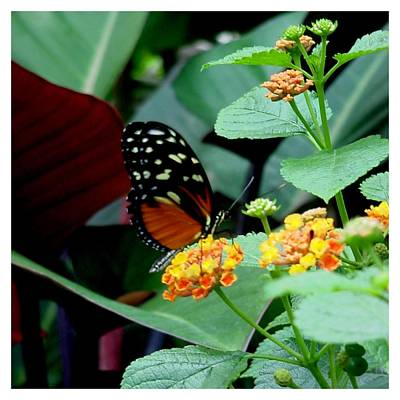 Photograph - Sweet Lantana by Frank Wickham