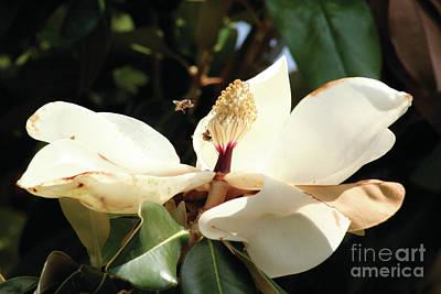Photograph - Sweet Magnolia by Alycia Christine