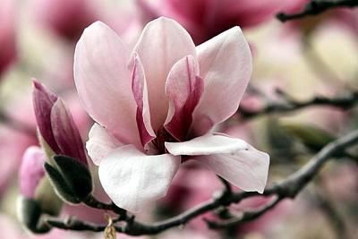Sweet Magnolia Art Print by Elizabeth Winter