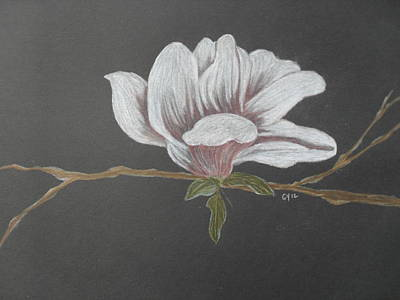 Magnolia Flower Drawing - Sweet Magnolia by Ginny Youngblood
