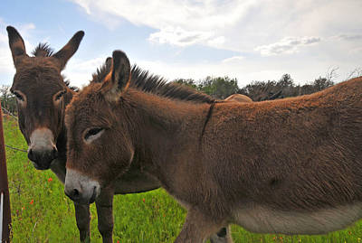 Miniature Donkey Photograph - Sweet Minature Donkeys by Lynn Bauer