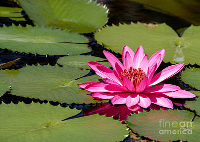 Sweet Pink Water Lily In The River Art Print by Sabrina L Ryan