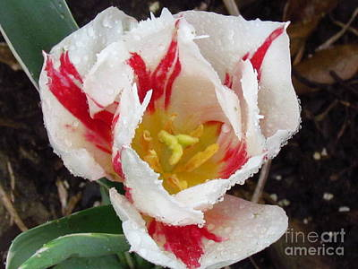 Sweetheart Tulip Art Print