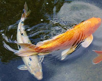 Photograph - Swimming Koi by Bruce Bley