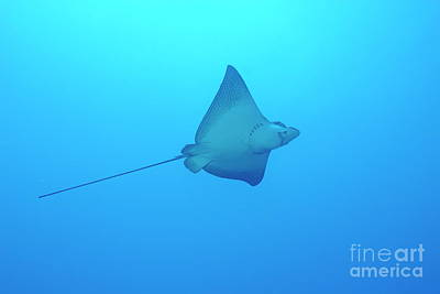 Spotted Eagle Ray Photograph - Swimming Spotted Eagle Rays by Sami Sarkis
