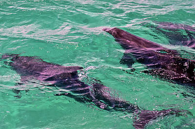 Photograph - Swimming With Bottlenose Dolphins At The Bay Of Islands by Harry Strharsky