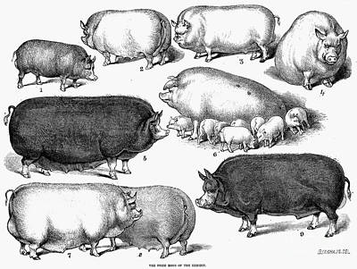 Swine, 1876 Art Print