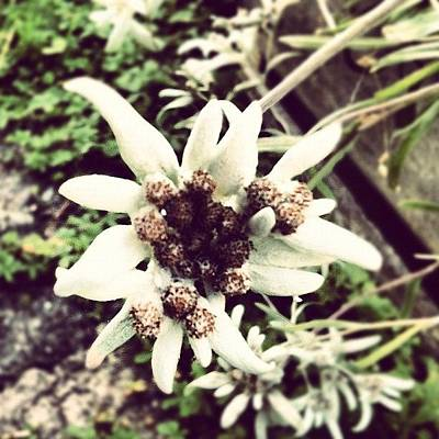 Icon Wall Art - Photograph - Swiss Edelweiss by Marce HH