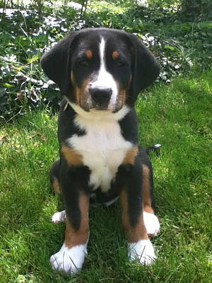 Greater Swiss Mountain Dog Photograph - Swissy Puppy 2 by Jonathan Boyd