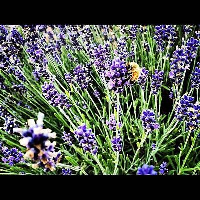 Lavender Photograph - Symbiosis by Rex Pennington