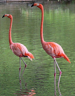 Synchronized Flamingos Art Print by Becky Lodes
