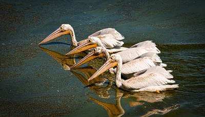 Photograph - Syncranized White Pelicans by Steve McKinzie