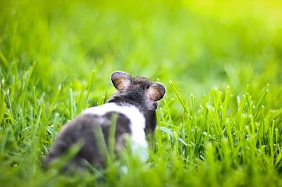 Photograph - Syrian Hamster by Asta Viggosdottir