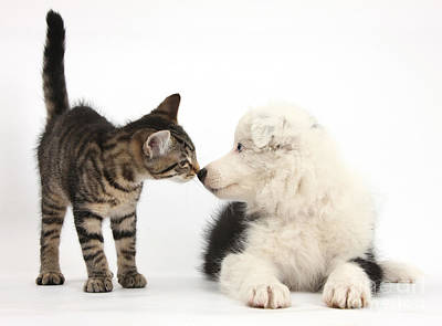 Photograph - Tabby Kitten And Border Collie by Mark Taylor
