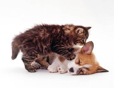Corgis Photograph - Tabby Kitten And Welsh Corgi Puppy by Jane Burton